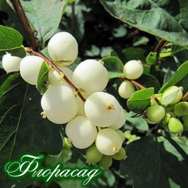Сніжноягідник Білий (Symphoricarpos albus) (1 рослина) опис, характеристики, відгуки