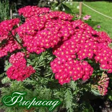 Тысячелистник гибридный красный (1 растение в контейнере) описание, отзывы, характеристики