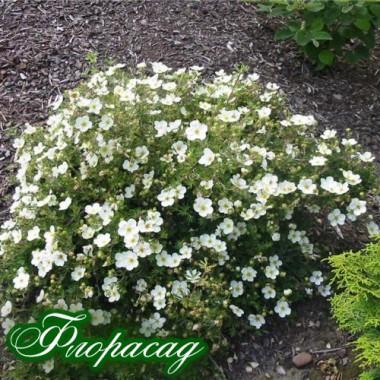 Лапчатка белая (1 растение) описание, отзывы, характеристики