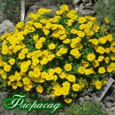 Лапчатка жовта (1 рослина) опис, характеристики, відгуки