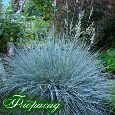 Овсяница сизая (1 растение в контейнере) описание, отзывы, характеристики