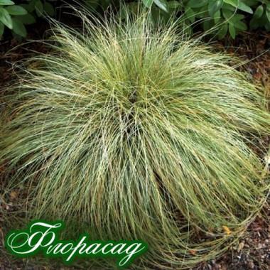 Осока зелена волосиста міні (1 рослина) опис, характеристики, відгуки