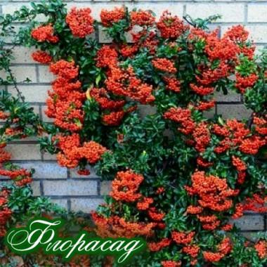 Пираканта красная Могави Pyracantha Mohave описание, отзывы, характеристики