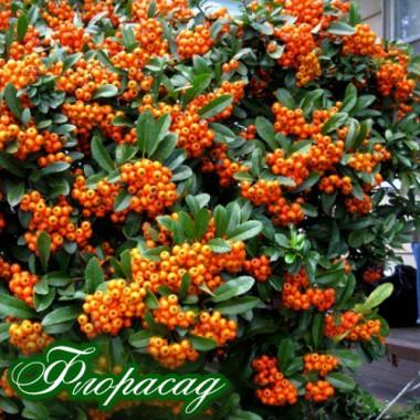 Пираканта оранжевая (1 саженец) описание, отзывы, характеристики