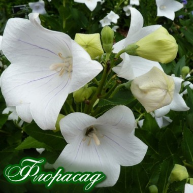 Платикодон білий (1 саджанець) опис, характеристики, відгуки