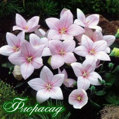Платикодон рожевий (1 саджанець) опис, характеристики, відгуки