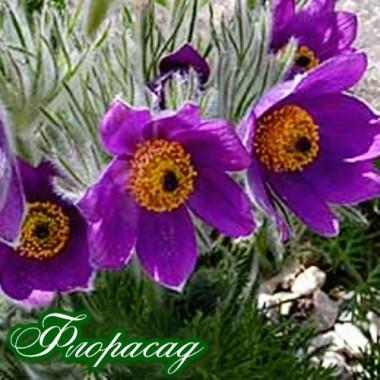 Сон-трава Vulgaris Violet (1 саджанець) опис, характеристики, відгуки
