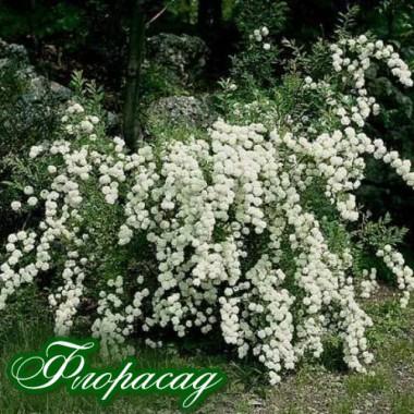 Спирея японская Белая (1 растение) описание, отзывы, характеристики