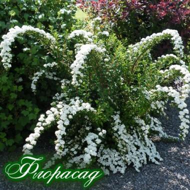 Спіреяніппонська Джун Брайд (1 рослина) опис, характеристики, відгуки