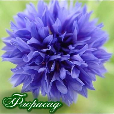 Василек многолетний голубой (1 растение в контейнере) описание, отзывы, характеристики