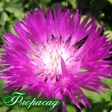 Василек многолетний розовый (1 растение в контейнере) описание, отзывы, характеристики