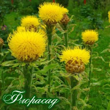 Волошка багаторічна жовта (1 рослина в контейнері) опис, характеристики, відгуки