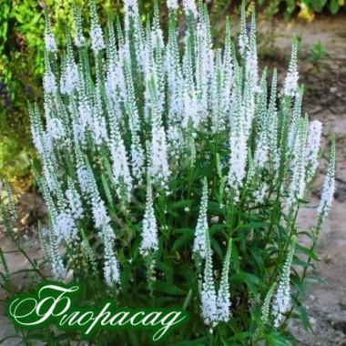 Вероника гибридная белая (1 растение в контейнере) описание, отзывы, характеристики