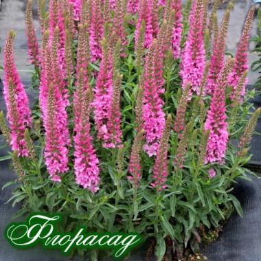 Вероника гибридная розовая (1 растение в контейнере) описание, отзывы, характеристики