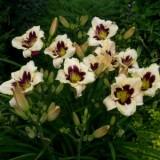 Гемерокалис Alaqua (1 растение) описание, отзывы, характеристики