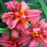 Гемерокалис Double Passion (1 растение) описание, отзывы, характеристики