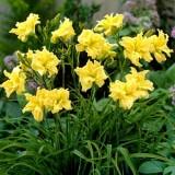 ГемерокалІс (Лилейник) River Wye (1 рослина) опис, характеристики, відгуки