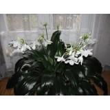Эухарис Amazonica  (лилия амазонская) (1 луковица)  описание, отзывы, характеристики