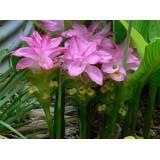 Куркума Zedoaria Pink Wonder (1 луковица) описание, отзывы, характеристики