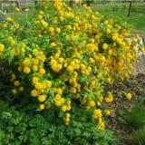 Керрия Japonica Pleniflora (1 растение) описание, отзывы, характеристики