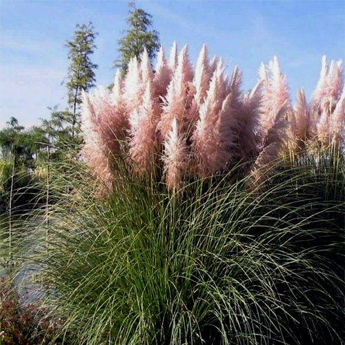 Пампасная трава рассада 52