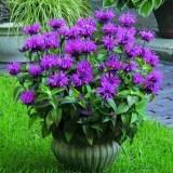 Монарда Knight Violet (1 растение) описание, отзывы, характеристики