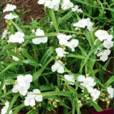 Традесканция садовая Белая куколка(1 саженец) описание, отзывы, характеристики