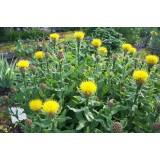 Волошка багаторічна жовта (1 рослина) опис, характеристики, відгуки