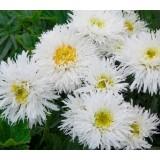Ромашка великоквітковамахроваКрейзіДейзі (1 рослина) опис, характеристики, відгуки