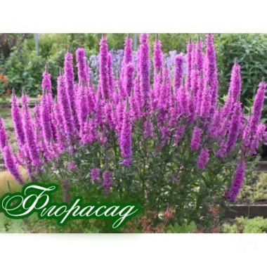 Дербенник salicaria Robert (1 растение) описание, отзывы, характеристики
