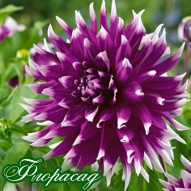 Георгіна декоративна великоквіткова England's Glory опис, характеристики, відгуки