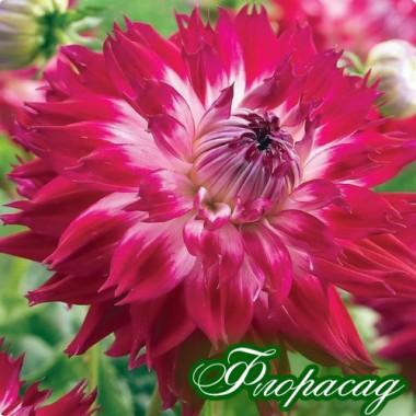 Георгина декоративная крупноцветковая Fantaste du Cape описание, отзывы, характеристики