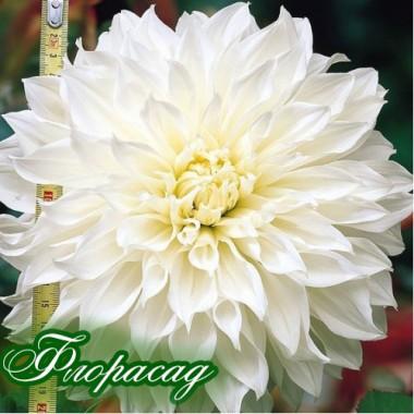 Георгіна декоративна великоквіткова Hakuyou опис, характеристики, відгуки