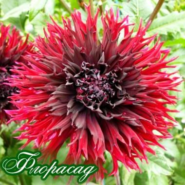 Георгіна махрова великоквіткова Kenora Macop опис, характеристики, відгуки