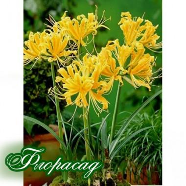 Ликорис (лилия пауковая) Aurea (1 луковица) описание, отзывы, характеристики