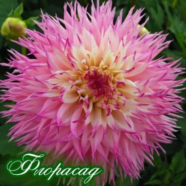Георгіна махрова Pinelands Princess опис, характеристики, відгуки