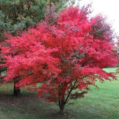 Клен японский веерный / пальмолистный Атропурпуреум Acer palmatum Atropurpureum (1 саженец) описание, отзывы, характеристики