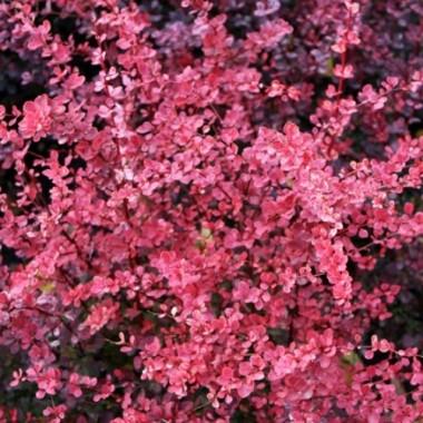 Барбарис тунберга Пинк Квин Berberis thunb. Pink Queen (1 саженец) описание, отзывы, характеристики