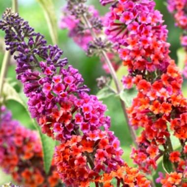 Буддлея давида Флауэр Пауэр Buddleja dav. Flower Power (1 саженец) описание, отзывы, характеристики