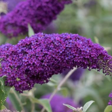Буддлея давида Нано Пурпл Buddleja dav. Nanho Purple (1 саженец) описание, отзывы, характеристики