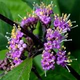 Каликарпа (красивоплодник) Issai (1 саженец) описание, отзывы, характеристики