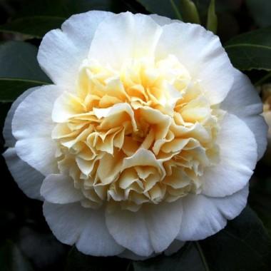 Камелия японская Brushfield's Yellow Camellia j. Brushfield's Yellow (1 саженец) описание, отзывы, характеристики
