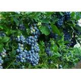 Голубика Блюголд Vaccinium cor. Bluegold (1 саженец) описание, отзывы, характеристики