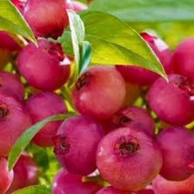 Лохина самоплідна Рожевий Лимонад (1 саджанець) опис, характеристики, відгуки
