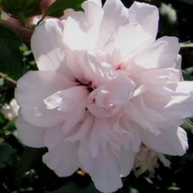 Гибискус сирийский Леди Стэнли Hibiscus syr. Lady Stanley (1 саженец) описание, отзывы, характеристики
