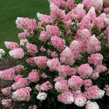 Гортензия метельчатая Клубничное мороженое (Санден Фрейз) Hydrangea pan. Sundae Fraise (1 саженец) описание, отзывы, характеристики