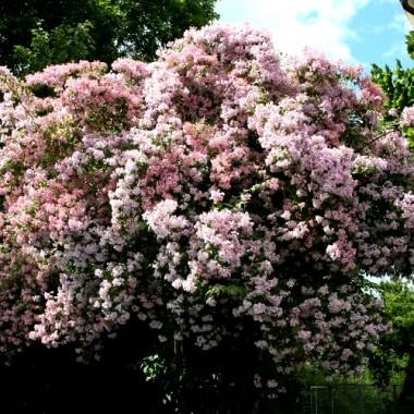 Кольквиция прелестная Пинк Клоуд Kolkwitzia amabilis Pink Cloud (1 саженец) описание, отзывы, характеристики