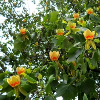 Лириодендрон Тюльпанное дерево Liriodendron tulipifera (1 саженец) описание, отзывы, характеристики