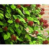 Малина японская пурпуроплодная Rubus phoenicolasius (1 саженец) описание, отзывы, характеристики