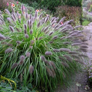 Пеннисетум альпийский Моудри Pennisetum al. Moudry (1 саженец) описание, отзывы, характеристики